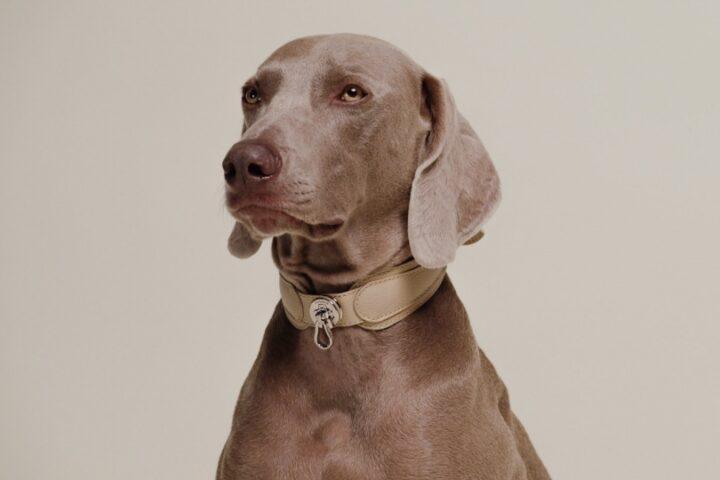 Роскошные аксессуары для собак от Pagerie